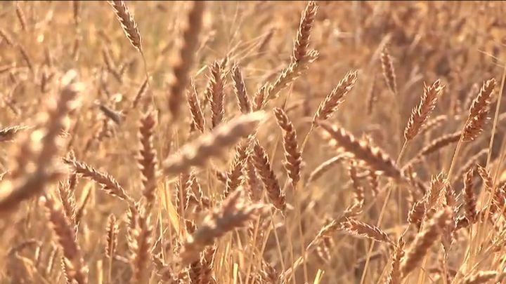 White Sonora Wheat Harvest